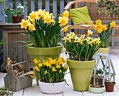 Narcissus 'Sunshine', 'Trena', 'Tete A Tete' (Daffodil)