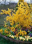Forsythia (Goldglöckchen) mit Frühlingsblumen im Rundbeet