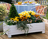 White wooden box with Buxus (Box Pyramid), Narcissus