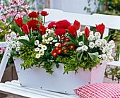 Tulipa 'Red Paradise' (Tulip), Iberis 'Snowball'