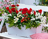Tulipa 'Red Paradise' (Tulpen), Iberis 'Snowball'