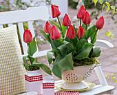 Tulipa 'Couleur Cardinal' (Tulpen) in emailliertem Küchensieb