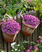 Aubrieta 'Hamburger Stadtpark' (blue cushions) in clay pots