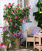 Rosa 'Gertrude Jekyll' (English fragrance rose), Clematis 'Natascha'
