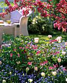 Dicentra spectabilis, Tulipa 'Angelique'