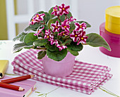 Saintpaulia (African Violet) on kitchen towels, pens