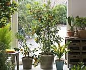 Citrus (Zitrone, Calamondine), Acacia (Mimose), Opuntia (Opuntie)