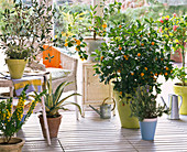 Conservatory with Citrus, Olea, Agave