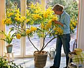 Frau genießt den Duft von Acacia dealbata (Mimose) im Wintergarten