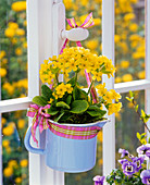 Primula veris (cowslip) in milk jug on window handle