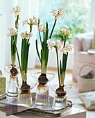 Narcissus 'Ziva' syn 'Paperwhite' on hyacinth glasses