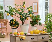 Citrus limon (Zitrone), Citrofortunella microcarpa (Calamondinorangen)