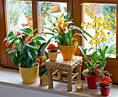 Window with exotics, Anthurium (flamingo flower), Kalanchoe