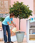 Woman watering Citrofortunella microcarpa (Calamondin orange)