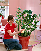 Woman cleaning leaves of Zamioculcas zamiifolia with damp cloth