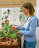 Woman sprays young plants of Solanum (eggplant)