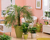 Phoenix roebelenii (Zwergdattelpalme), Howea (Kentiapalme), Chrysalidocarpus