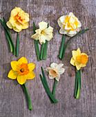 Board with Narcissus v.l.n.r .- 'Tahiti' 'Cassata' 'Westward'