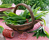 Freshly harvested Allium ursinum (wild garlic) bundled in a basket