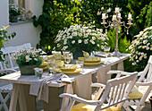 Table decoration with shrub marguerites