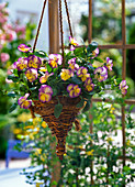 Viola cornuta 'Etain' (horn violet) in traffic light basket