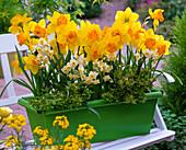 Narcissus 'Orange Eye', 'Avalanche' (Daffodil), Abelia