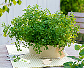 Anthriscus (chervil) in metal jardiniere with sign 'Kerbel'