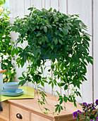 Gynostemma pentaphyllum (Jiaogulan plant)