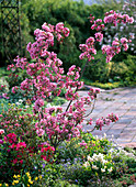 Malus 'Profusion' (ornamental apple) with dark pink flowers