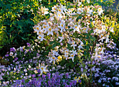 Rhododendron 'Daviesii' (Garden Azalea)