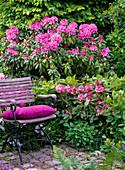 Rhododendron 'Catawbiense Boursault', 'Anuschka' (Alpine Rose)