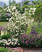Plant scented jasmine