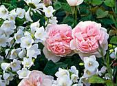 Rosa 'Sharifa Asma' (English rose), intense fruity scent