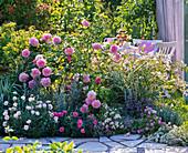 Rosa 'Mary Rose' (English rose), often flowering shrub rose