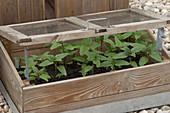 Helianthus annuus (sunflower), seedlings in miniature greenhouse
