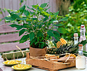 Fruit herbs, Salvia rutilans (Pineapple sage)
