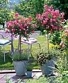 Stem Roses, Rosa 'Lupo' from Kordes