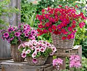Petunia Sylvana 'Queen', Veranda 'Rose Vein', 'Magenta'