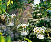 Lanterns with Leucanthemum (spring marguerite) and grasses