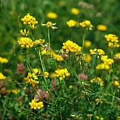 Lotus corniculatus (Common Horn Clover)