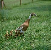 Anas (Indische Laufenten), rehbraun gescheckte Entenmutter mit Küken