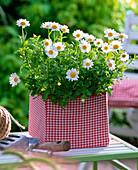 Argyranthemum 'Beauty White' (Marguerite)