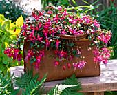 Fuchsia 'Ringwood Market' 'Bodetal' 'Quintet' (Fuchsia)
