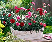 Dianthus Devon Cottage 'Dark Red', 'Soft Red', 'Pink' (Carnation)