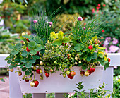 Box with berries and herbs, Fragaria (strawberries), thymus