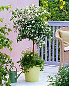 Solanum rantonetti 'Album' (White gentian tree) planted