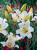 Lilium asiaticum 'Alaska' (White Lilies)