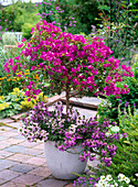 Bougainvillea underplanted with Scaevola 'Diamond', 'Saphira'