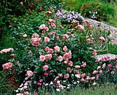 Rosa 'Bonica' (Kleinstrauchrose), robust, öfterblühend