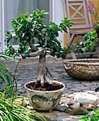 Bonsai in a hand-peeled bowl